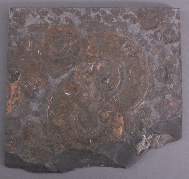 Fossil / Ammoniten, Posidonienschiefer