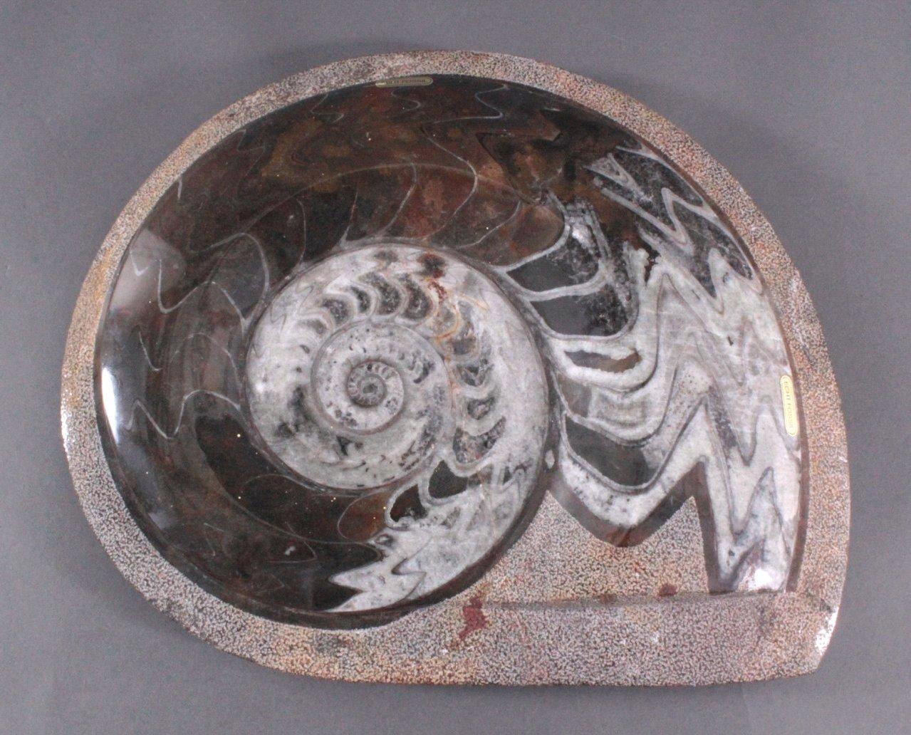Großer Cleoniceras Ammonit (Kopffüßer), geschliffen/poliert