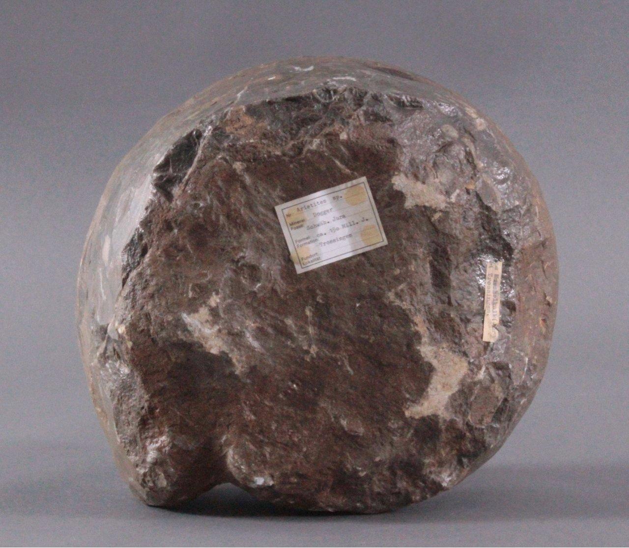 Sehr großer Ammonit, Durchmesser 33 cm, Museal, Arietites-3