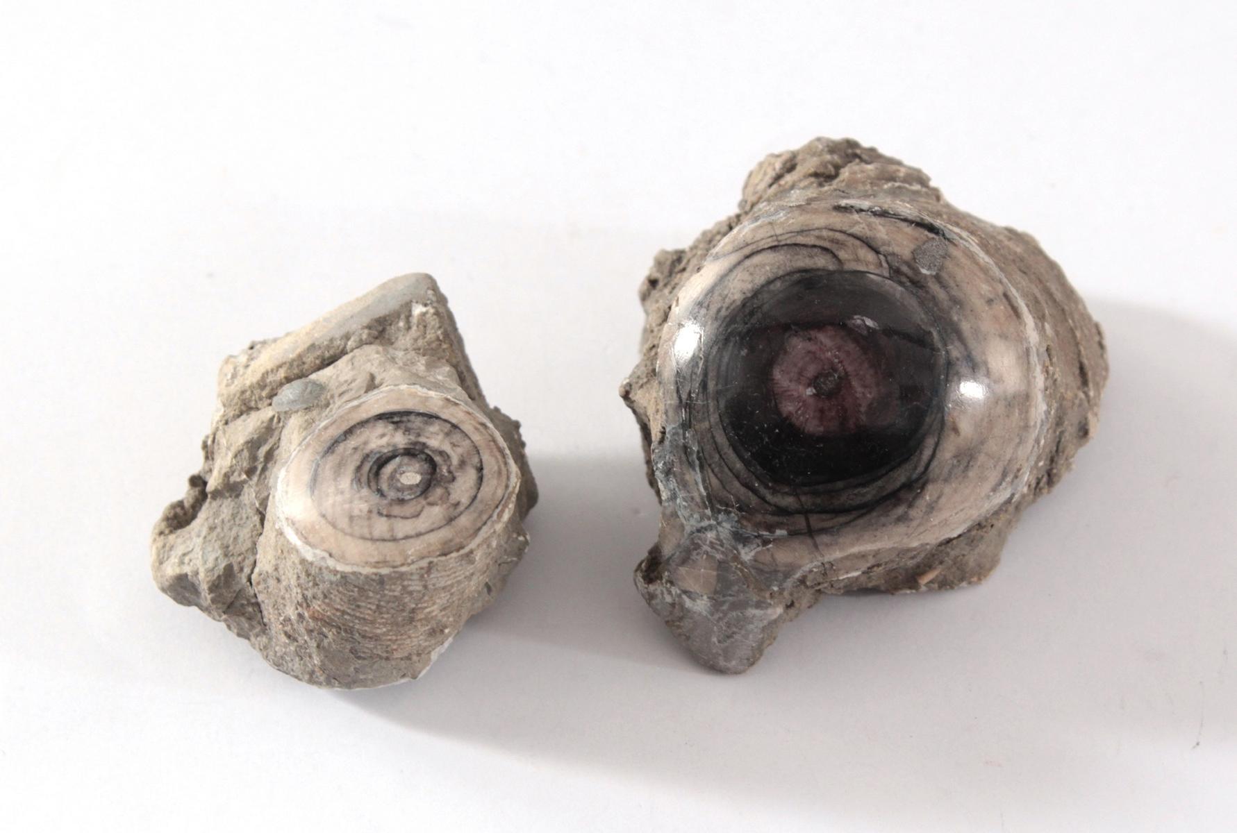 Paar fossile Seelilien, polliert