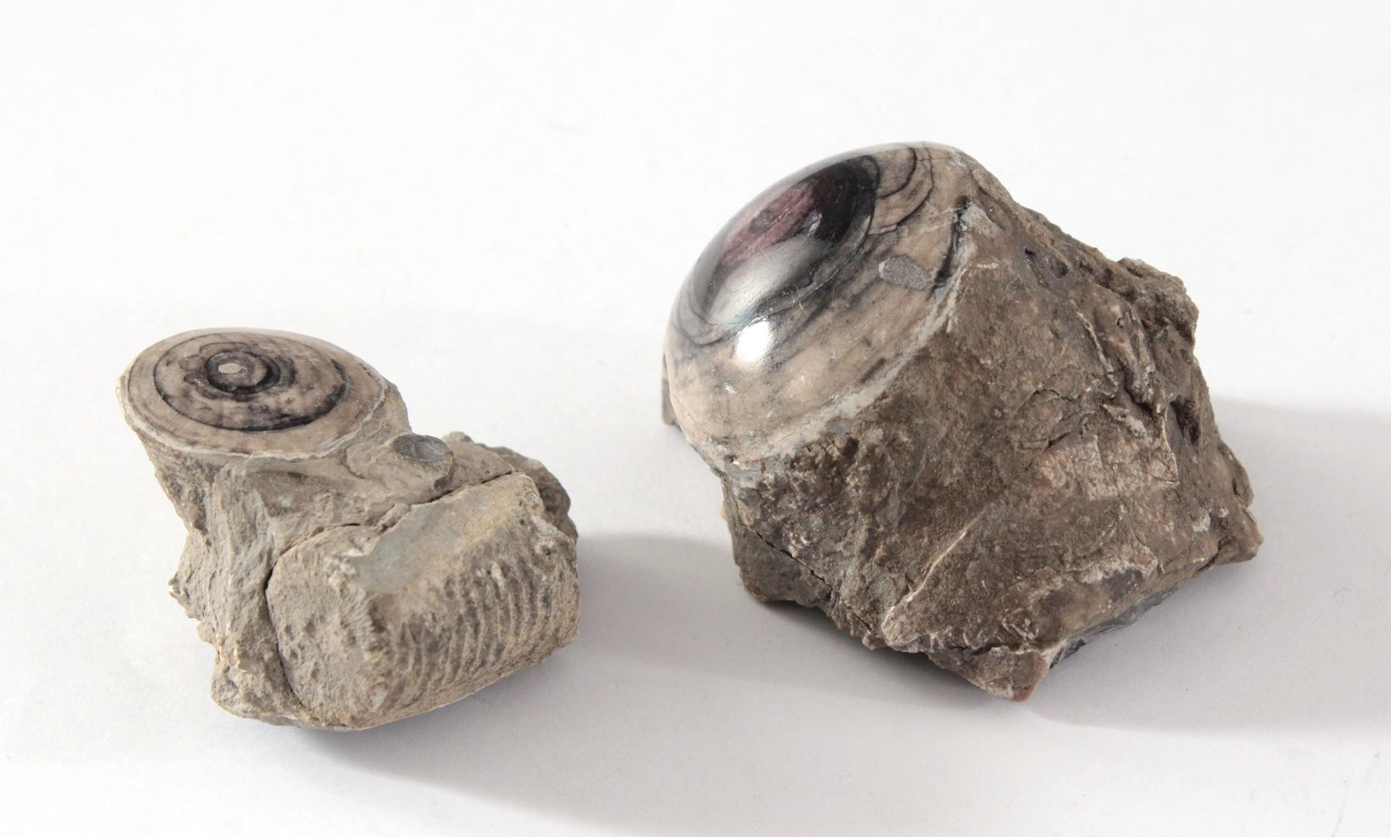 Paar fossile Seelilien, polliert-2