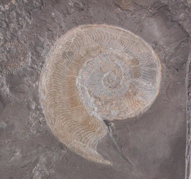 Fossilienplatte Ammonit-2