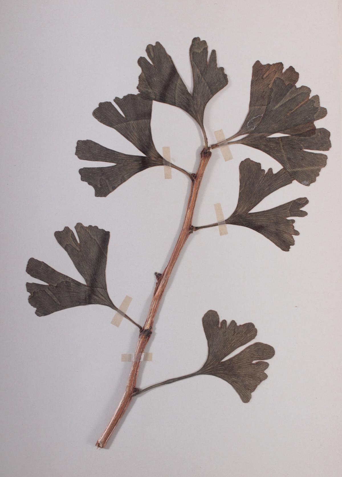 Herbarium, selbstgestaltete Mappe mit getrockneten Pflanzen, hier die Nr. 1, 1. Hälfte 20. Jh.-2