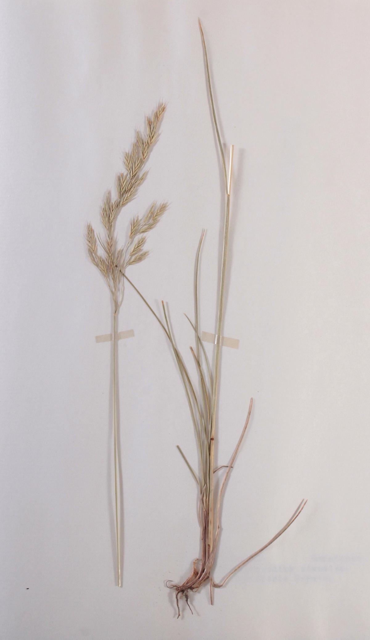 Herbarium, selbstgestaltete Mappe mit getrockneten Pflanzen, hier die Nr. 1, 1. Hälfte 20. Jh.-3