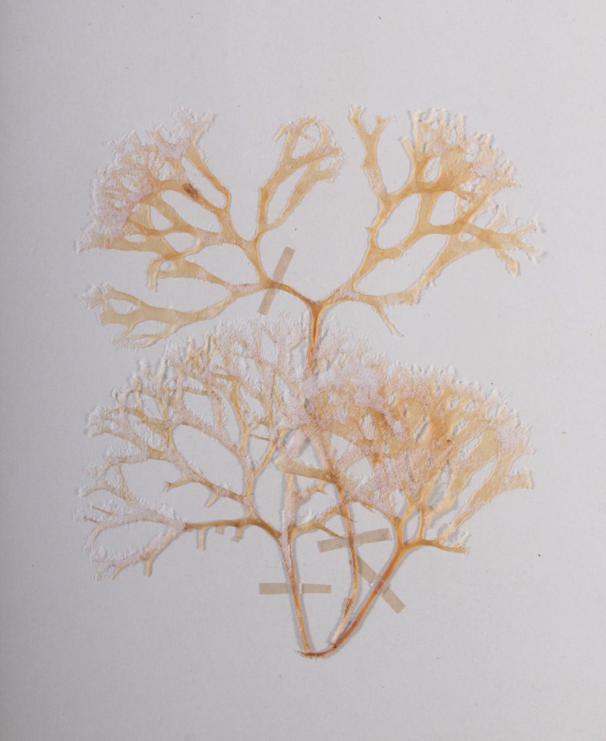 Herbarium, selbstgestaltete Mappe mit getrockneten Pflanzen, hier die Nr. 1, 1. Hälfte 20. Jh.-4
