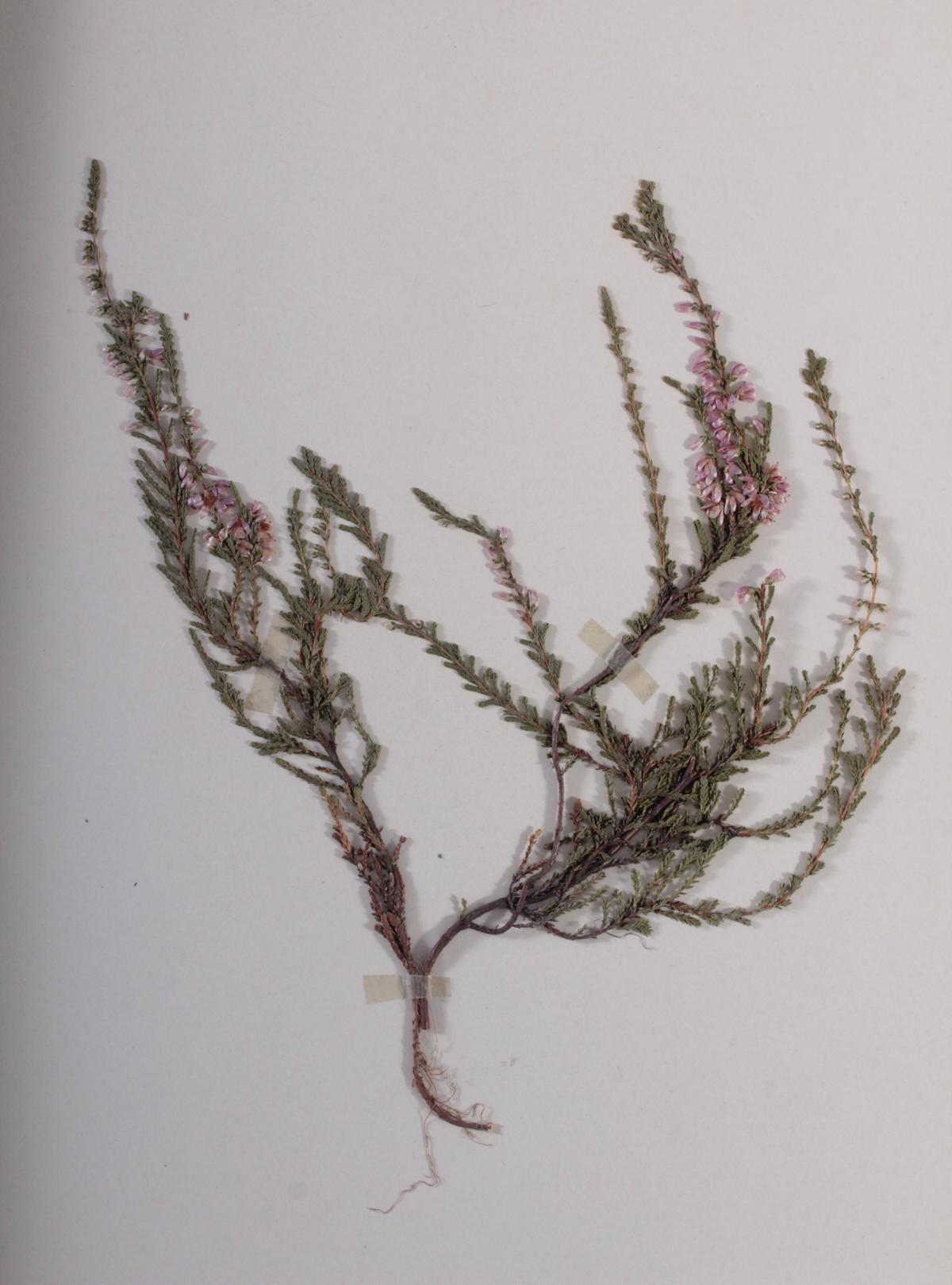 Herbarium, selbstgestaltete Mappe mit getrockneten Pflanzen, hier die Nr. 1, 1. Hälfte 20. Jh.-5