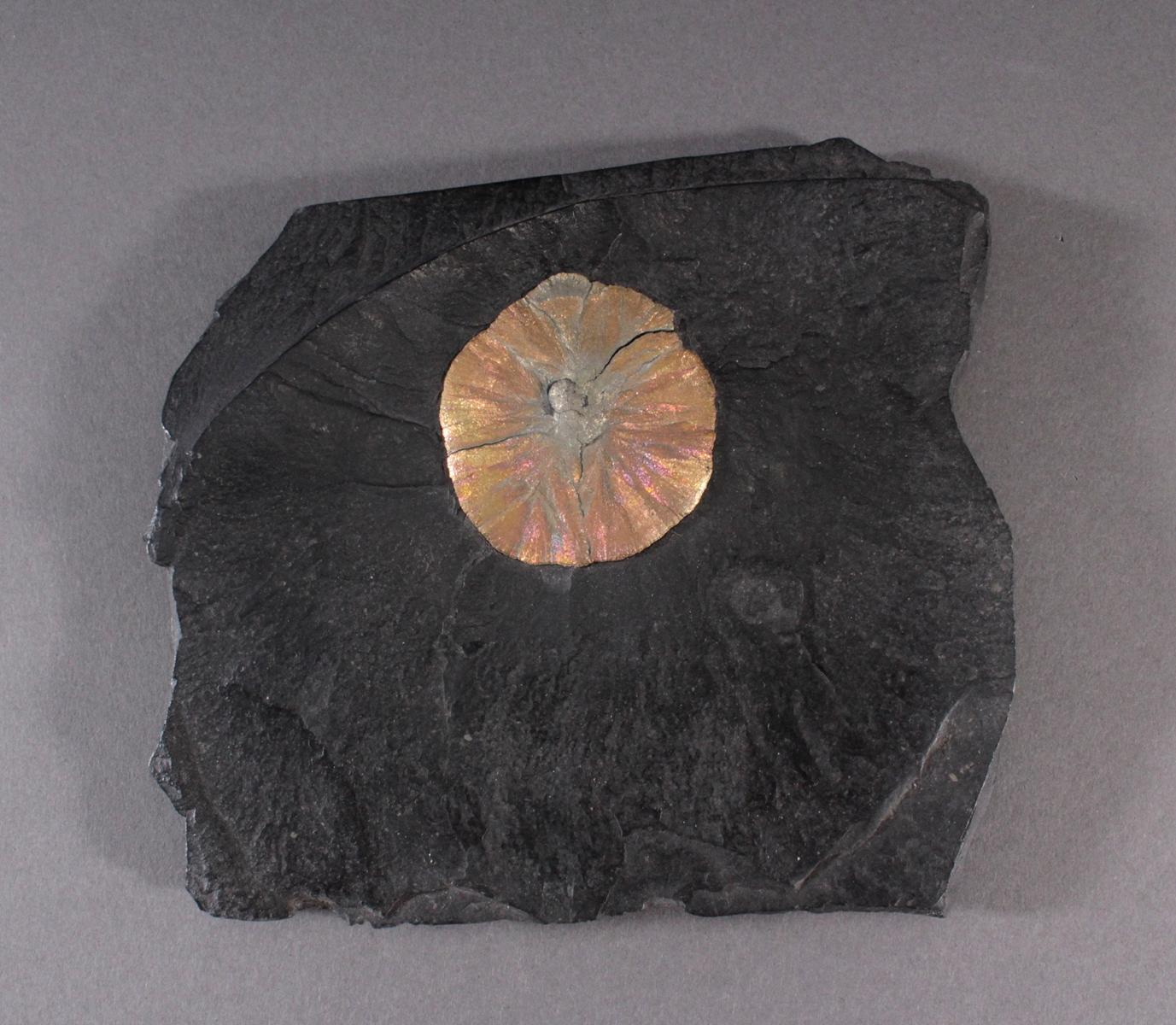 Pyrit-Sonne auf Oelschiefer, Illinois USA