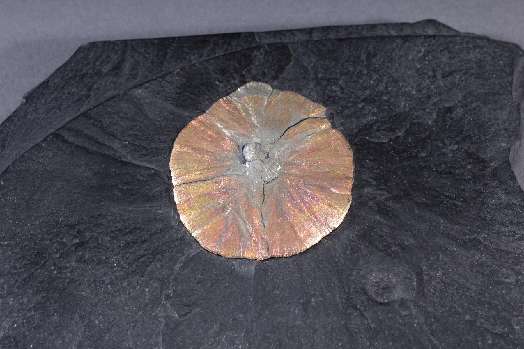 Pyrit-Sonne auf Oelschiefer, Illinois USA-4