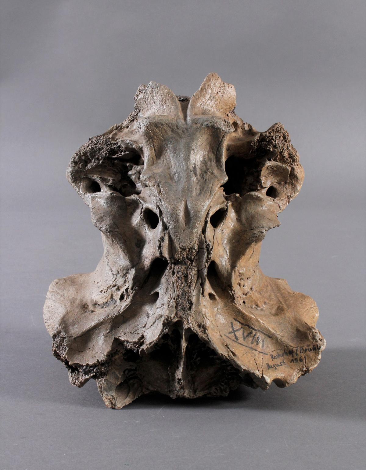 Fossilen – Großer versteinerter Wirbel
