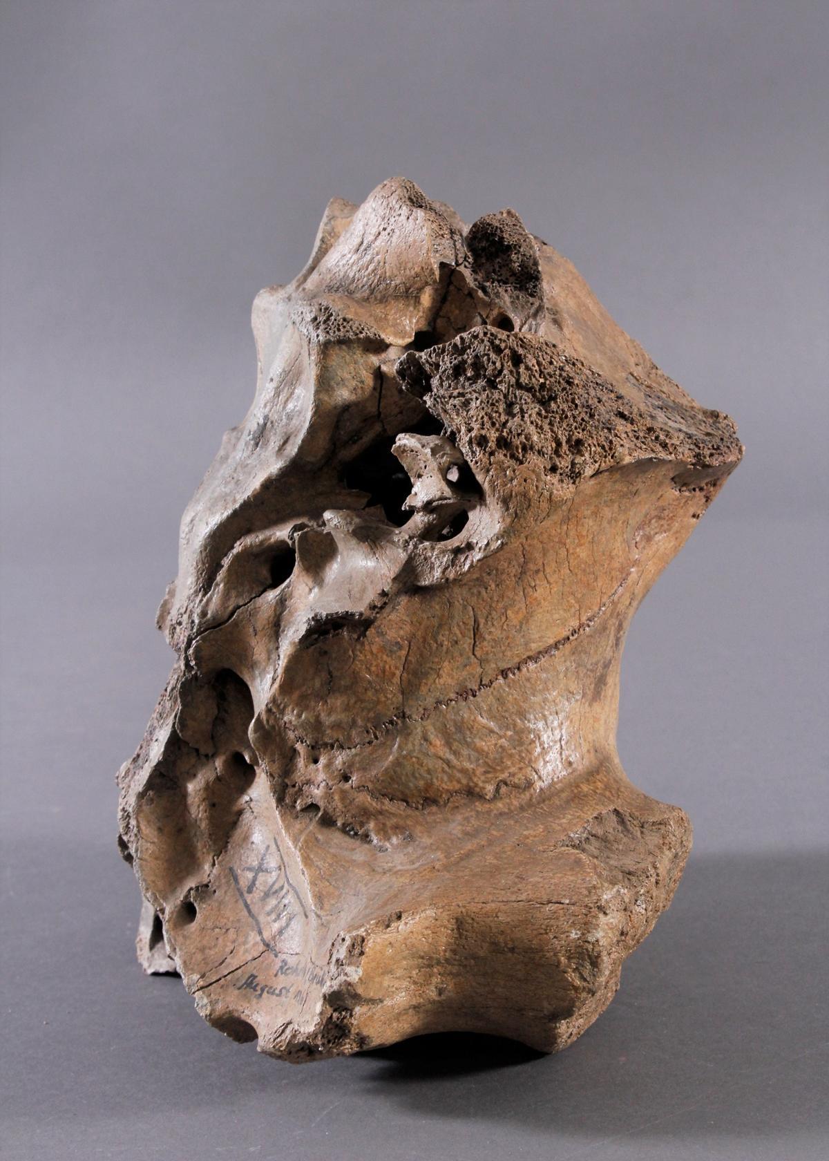 Fossilen – Großer versteinerter Wirbel-2