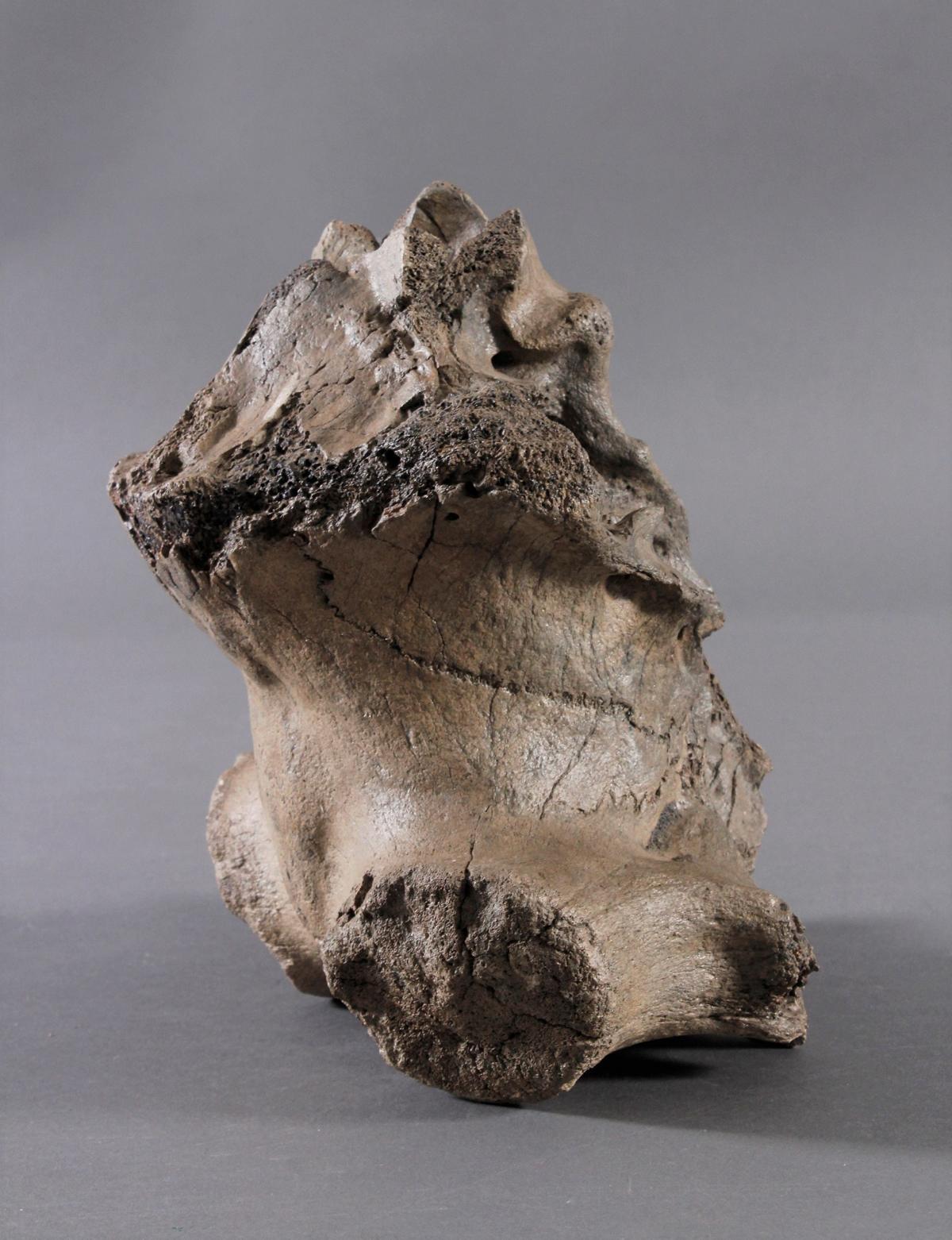 Fossilen – Großer versteinerter Wirbel-4