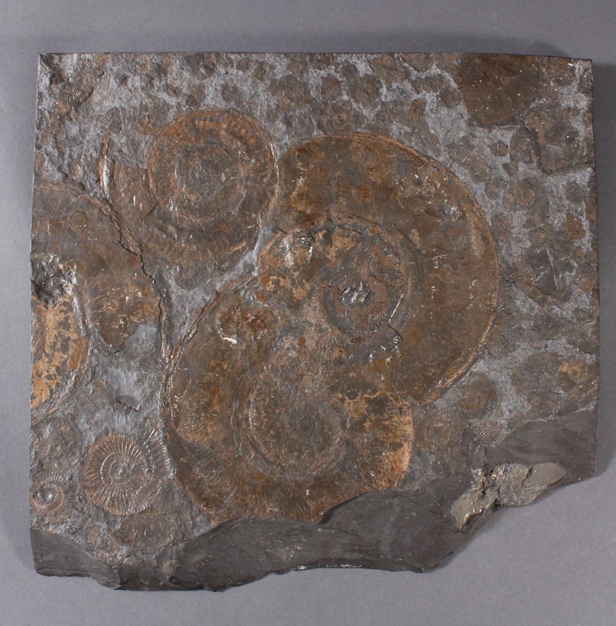 Große Schieferplatte mit Fossil 'Ammoniten'