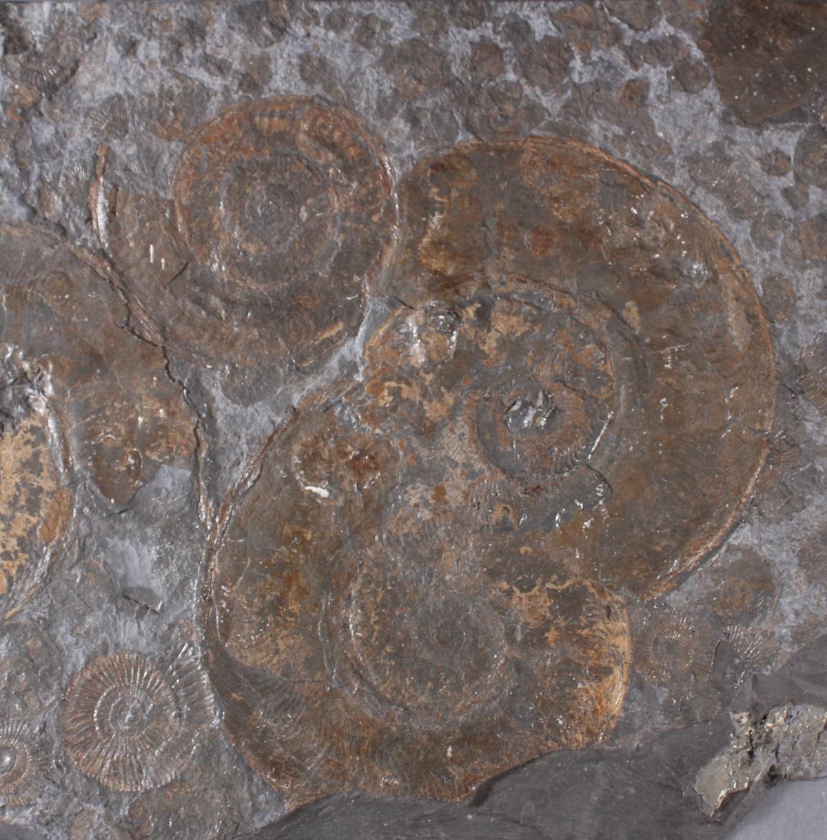Große Schieferplatte mit Fossil 'Ammoniten'-2
